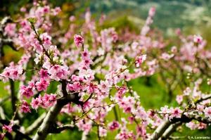 Almond_tree_2_lrg