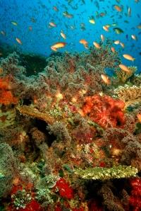 RS1129_Amanwana - Labu Aji Reef